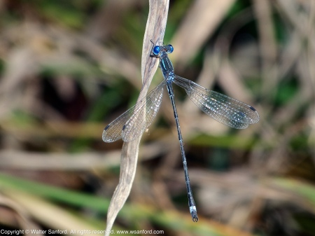 A Sweetflag Spreadwing damselfly (Lestes forcipatus) spotted at Huntley Meadows Park, Fairfax County, Virginia USA. This individual is a male.