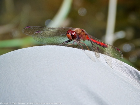 An Autumn Meadowhawk dragonfly (Sympetrum vicinum) spotted at Huntley Meadows Park, Fairfax County, Virginia USA. This individual is a male, perching on my leg (Columbia pants).