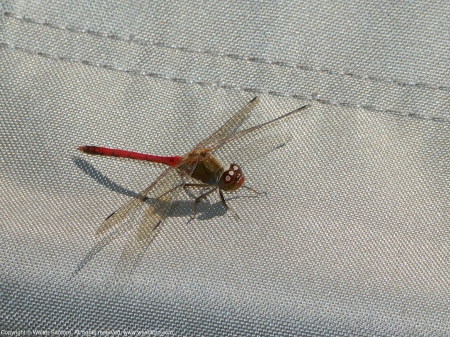 An Autumn Meadowhawk dragonfly (Sympetrum vicinum) spotted at Huntley Meadows Park, Fairfax County, Virginia USA. This individual is a male, perching on a Coleman camp stool.