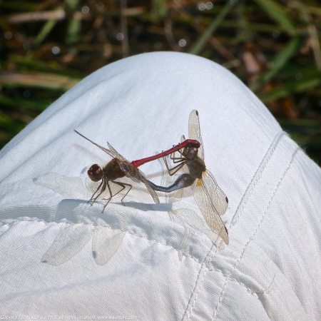 A mating pair of Autumn Meadowhawk dragonflies (Sympetrum vicinum) spotted at Huntley Meadows Park, Fairfax County, Virginia USA. This pair is shown in wheel, perching on my leg (Columbia pants).