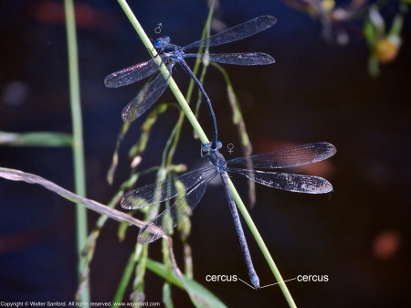 A mating pair of Great Spreadwing damselflies (Archilestes grandis) spotted at Huntley Meadows Park, Fairfax County, Virginia USA. This pair is in tandem.
