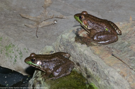 Two Green Frogs (Lithobates clamitans) spotted at Huntley Meadows Park, Fairfax County, Virginia USA. These individuals may be Bronze Frogs, a subspecies of Green Frog.