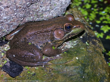 A Green Frog (Lithobates clamitans) spotted at Huntley Meadows Park, Fairfax County, Virginia USA. This individual may be a Bronze Frog, a subspecies of Green Frog. The green aquatic plant is duckweed.