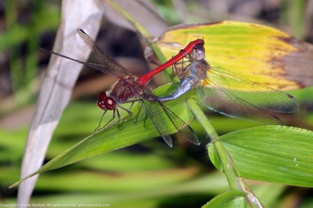 A mating pair of Autumn Meadowhawk dragonflies (Sympetrum vicinum) spotted at Huntley Meadows Park, Fairfax County, Virginia USA. This pair is shown in wheel.