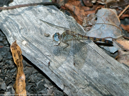 A Blue-faced Meadowhawk dragonfly (Sympetrum ambiguum) spotted at Huntley Meadows Park, Fairfax County, Virginia USA. This individual is a heteromorph female.