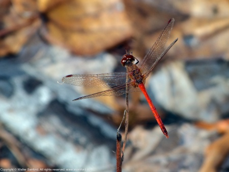 An Autumn Meadowhawk dragonfly (Sympetrum vicinum) spotted at Huntley Meadows Park, Fairfax County, Virginia USA. This individual is a male.