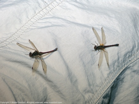 Two Autumn Meadowhawk dragonflies (Sympetrum vicinum) spotted at Huntley Meadows Park, Fairfax County, Virginia USA. These individuals are females, perching on my leg (Columbia pants).