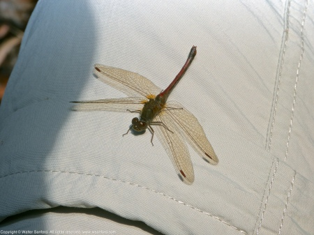 An Autumn Meadowhawk dragonfly (Sympetrum vicinum) spotted at Huntley Meadows Park, Fairfax County, Virginia USA. This individual is a female, perching on my leg (Columbia pants).