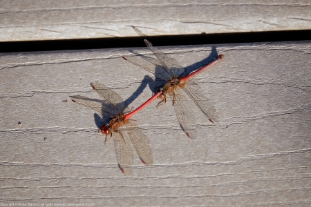 A mating pair of Autumn Meadowhawk dragonflies (Sympetrum vicinum) spotted at Huntley Meadows Park, Fairfax County, Virginia USA. This pair is shown in tandem.