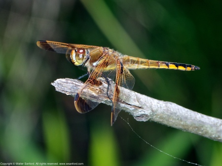 A Painted Skimmer dragonfly (Libellula semifasciata) spotted at Huntley Meadows Park, Fairfax County, Virginia USA. This individual is a male.