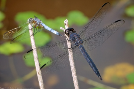 A Slaty Skimmer dragonfly (Libellula incesta) spotted at Huntley Meadows Park, Fairfax County, Virginia USA. This individual is a mature male. A male Blue Dasher dragonfly (Pachydiplax longipennis) is shown in the background.