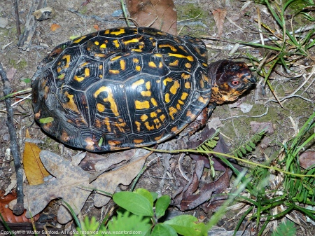 An Eastern Box Turtle (Terrapene carolina carolina) spotted at Huntley Meadows Park, Fairfax County, Virginia USA.