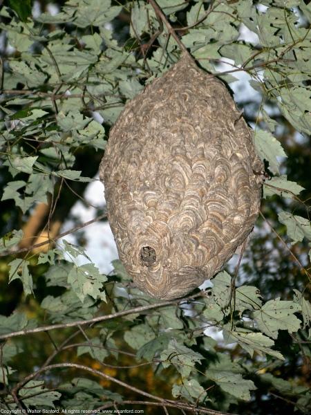 Year of the hornet nest   walter sanford's photoblog
