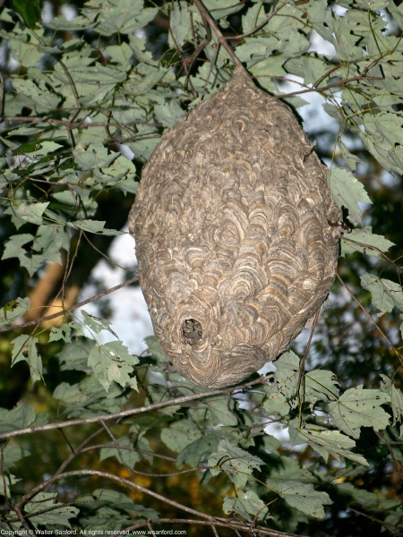 A large Bald-faced Hornet (Dolichovespula maculata) nest spotted at Huntley Meadows Park, Fairfax County, Virginia USA.