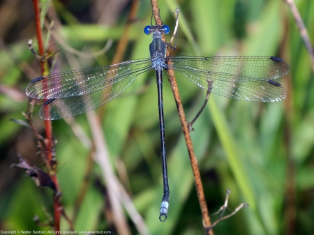 """A Great Spreadwing damselfly (Archilestes grandis) spotted at Huntley Meadows Park, Fairfax County, Virginia USA. This individual is a male, nicknamed """"Bendy Straw."""""""