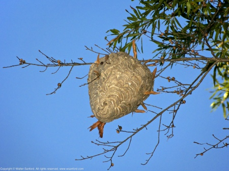 A large hornet/wasp nest spotted at Huntley Meadows Park, Fairfax County, Virginia USA.