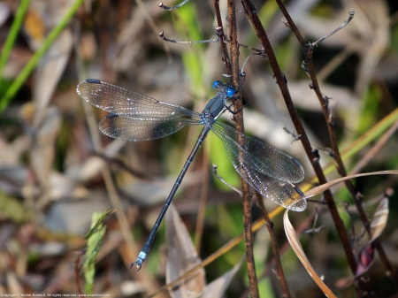 """A Great Spreadwing damselfly (Archilestes grandis) spotted at Huntley Meadows Park, Fairfax County, Virginia USA. This individual is a male, nicknamed """"Mr. Magoo."""""""