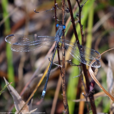 "A Great Spreadwing damselfly (Archilestes grandis) spotted at Huntley Meadows Park, Fairfax County, Virginia USA. This individual is a male, nicknamed ""Mr. Magoo."""