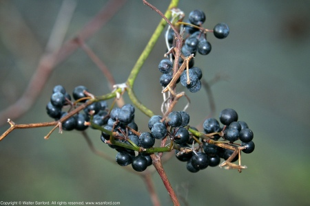 Unknown blue-black berries spotted at Huntley Meadows Park, Fairfax County, Virginia USA.