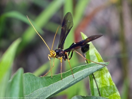 A Giant Ichneumon wasp (Megarhyssa atrata) spotted at Huntley Meadows Park, Fairfax County, Virginia USA. This individual is a female.