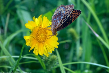 A Great Spangled Fritillary butterfly (Speyeria cybele) spotted at Huntley Meadows Park, Fairfax County, Virginia USA. This individual is feeding on an unknown yellow flower.