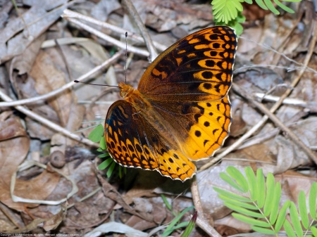 A Great Spangled Fritillary butterfly (Speyeria cybele) spotted at Huntley Meadows Park, Fairfax County, Virginia USA.
