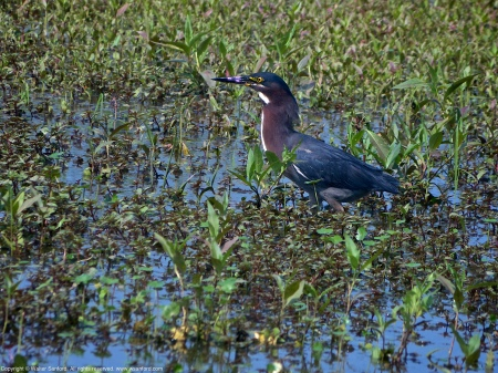 A Green Heron (Butorides virescens) spotted eating a fish at Huntley Meadows Park, Fairfax County, Virginia USA.