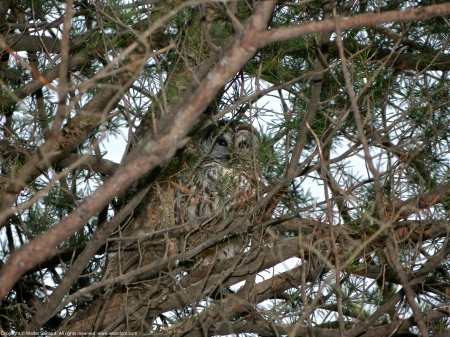A Barred Owl (Strix varia) spotted at Huntley Meadows Park, Fairfax County, Virginia USA. This individual is shown roosting high in an evergreen tree.