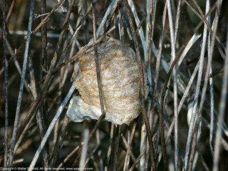 An insect ootheca spotted at Huntley Meadows Park, Fairfax County, Virginia USA. This may be a mantis egg case.