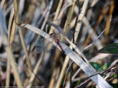 An Autumn Meadowhawk dragonfly (Sympetrum vicinum) spotted at Huntley Meadows Park, Fairfax County, Virginia USA. This individual is a female.
