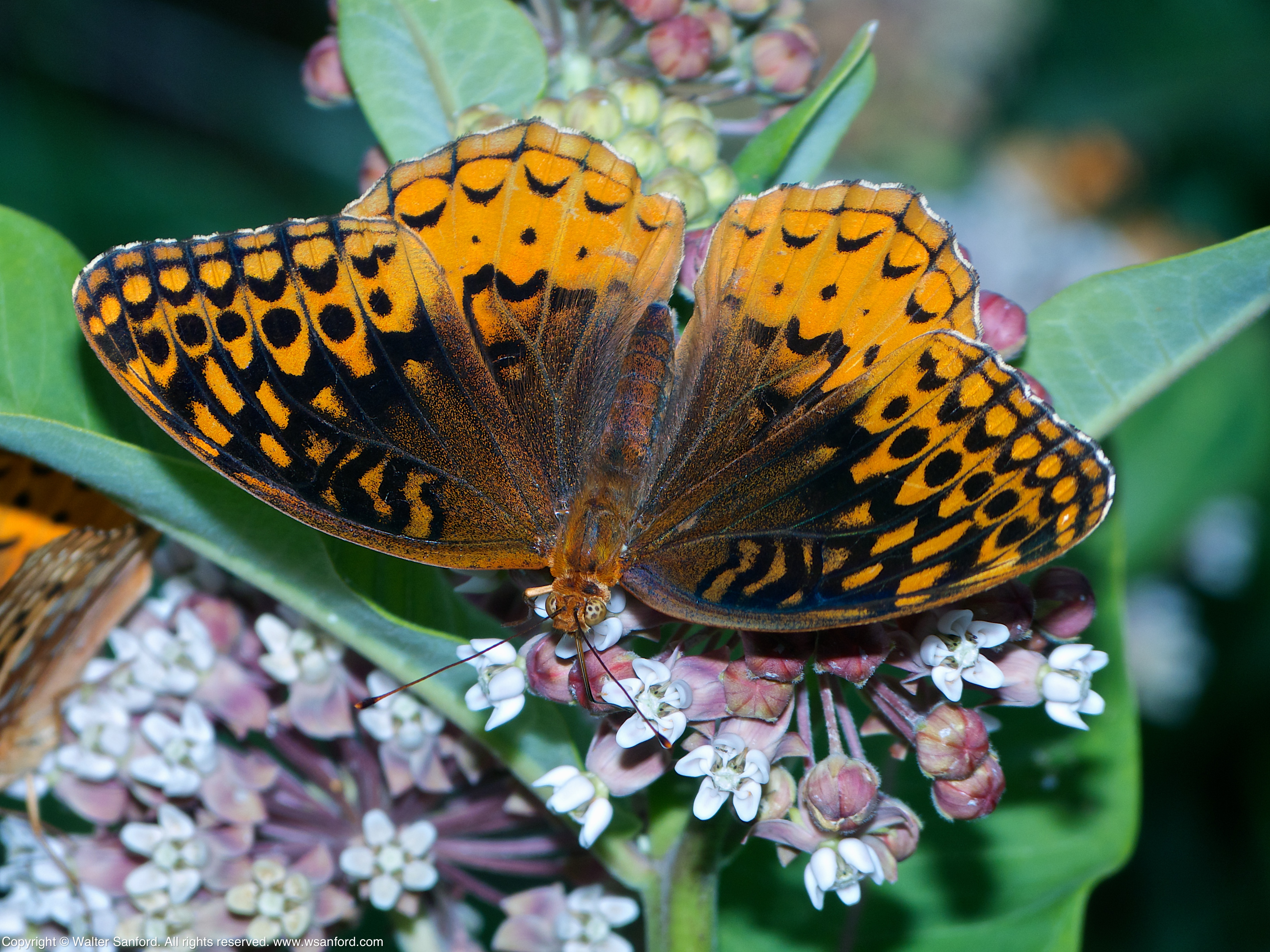 Butterfly fritillary virginia