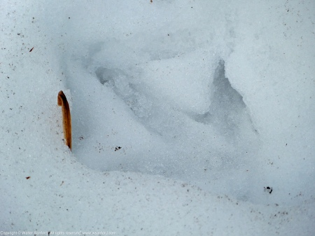 Wild Turkey tracks (Meleagris gallopavo) spotted at Huntley Meadows Park, Fairfax County, Virginia USA.