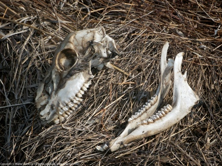 A disarticulated White-tailed deer skull (Odocoileus virginianus) spotted at Huntley Meadows Park, Fairfax County, Virginia USA.