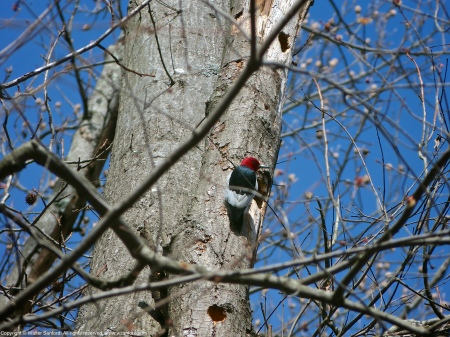 A Red-headed Woodpecker (Melanerpes erythrocephalus) spotted at Huntley Meadows Park, Fairfax County, Virginia USA.