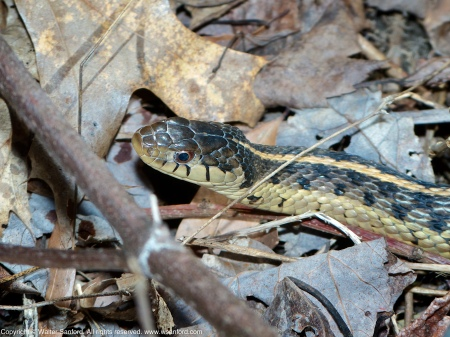 An Eastern Gartersnake (Thamnophis sirtalis sirtalis) spotted at Huntley Meadows Park, Fairfax County, Virginia USA.