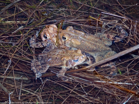 A mating pair of Eastern American Toads (Anaxyrus americanus) plus another male interloper spotted at Huntley Meadows Park, Fairfax County, Virginia USA. The mating pair is in amplexus.