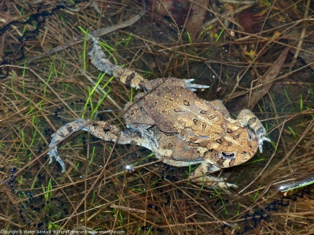 A mating pair of Eastern American Toads (Anaxyrus americanus) spotted at Huntley Meadows Park, Fairfax County, Virginia USA. This pair is in amplexus. Notice the long strings of toad eggs in the water.