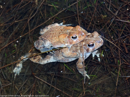 A mating pair of Eastern American Toads (Anaxyrus americanus) spotted at Huntley Meadows Park, Fairfax County, Virginia USA. This pair is in amplexus.