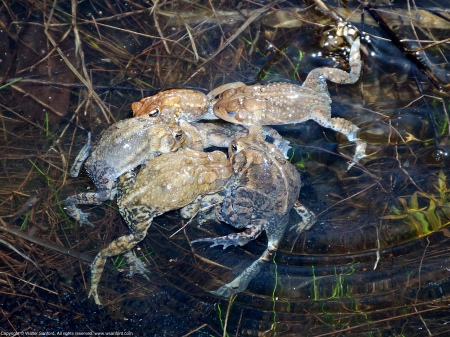 A mass of mating Eastern American Toads (Anaxyrus americanus) spotted at Huntley Meadows Park, Fairfax County, Virginia USA. It's difficult to tell whether there are pairs of males and females in amplexus within the group of toads.