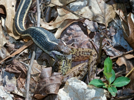 A Common Ribbonsnake (Thamnophis sauritus sauritus) spotted at Huntley Meadows Park, Fairfax County, Virginia USA. This individual is eating a Southern Leopard Frog (Lithobates sphenocephalus).