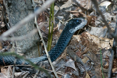 A black snake spotted at Huntley Meadows Park, Fairfax County, Virginia USA. This individual is either an Eastern Ratsnake (Pantherophis alleghaniensis) or Northern Black Racer (Coluber constrictor constrictor).