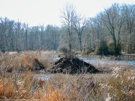 A North American Beaver lodge (Castor canadensis), as seen from ground level in the central wetland area at Huntley Meadows Park, Fairfax County, Virginia USA.