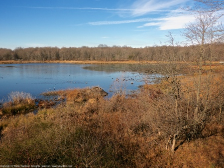 A North American Beaver lodge (Castor canadensis), as seen from the observation tower overlooking the central wetland area at Huntley Meadows Park, Fairfax County, Virginia USA.