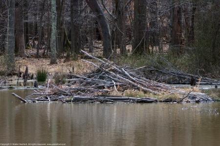 A beaver lodge spotted along Barnyard Run at Huntley Meadows Park, Fairfax County, Virginia USA.