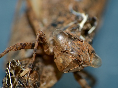 A couple of odonate exuviae spotted at Huntley Meadows Park, Fairfax County, Virginia USA.