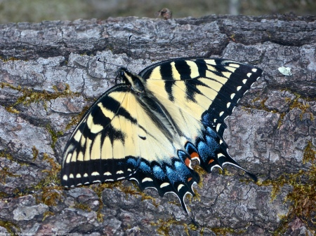 An Eastern Tiger Swallowtail butterfly (Papilio glaucus) spotted at Huntley Meadows Park, Fairfax County, Virginia USA. This individual is a female, sheltering from strong wind.