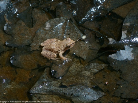 A Spring Peeper (Pseudacris crucifer) spotted at Huntley Meadows Park, Fairfax County, Virginia USA.