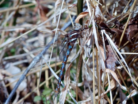 A Springtime Darner dragonfly (Basiaeschna janata) spotted at Huntley Meadows Park, Fairfax County, Virginia USA. This individual is a female, blue morph.