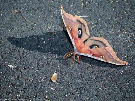 A Polyphemus Silkmoth (Antheraea polyphemus) spotted along the Hike-Bike Trail at Huntley Meadows Park, Fairfax County, Virginia USA.