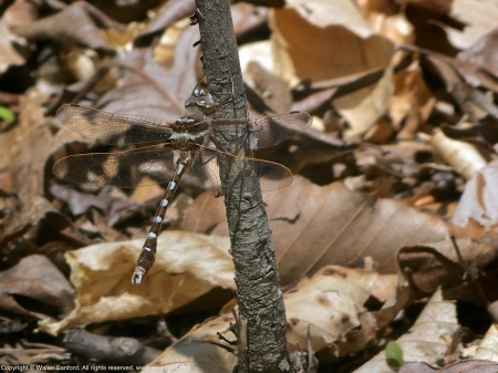 A Stream Cruiser dragonfly (Didymops transversa) spotted at Accotink Bay Wildlife Refuge, Fairfax County, Virginia USA. This individual is a male.